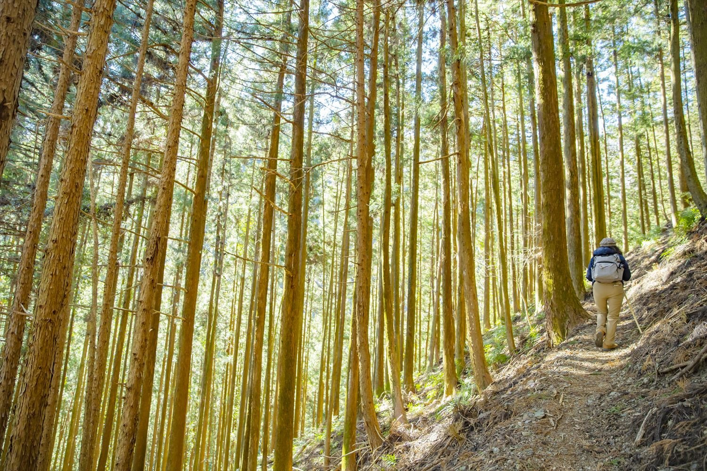 埼玉の優良材・西川材の植林地。つづら折りのスギ並木を鳥首峠へ。