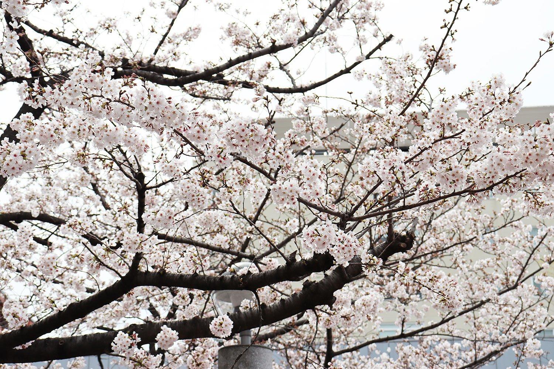 取材日、公園内の桜は満開。