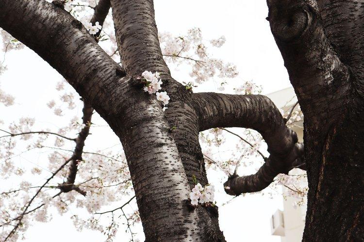 """ソメイヨシノのふるさとには、""""植木の里""""の面影がありありと残っていた【村田あやこの路上園芸探訪・駒込〜巣鴨編】"""