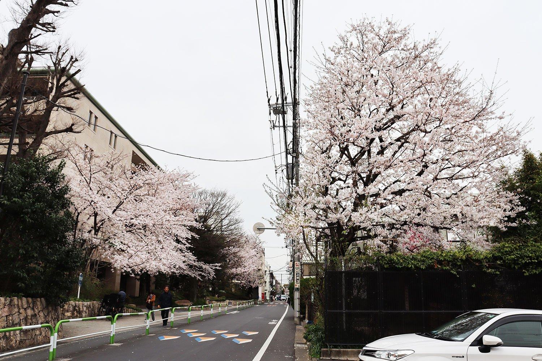 現在の染井通り。通り沿いにソメイヨシノが植栽されている。