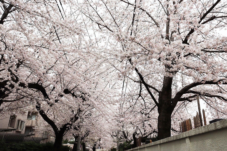 駒込小学校の前にて、向こうまで続く桜のトンネル。