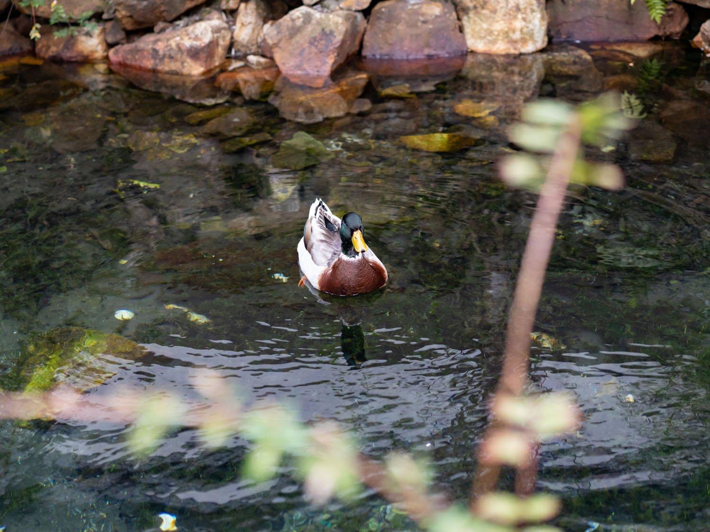 橋を挟んだ反対側の池には鴨さんがいました。