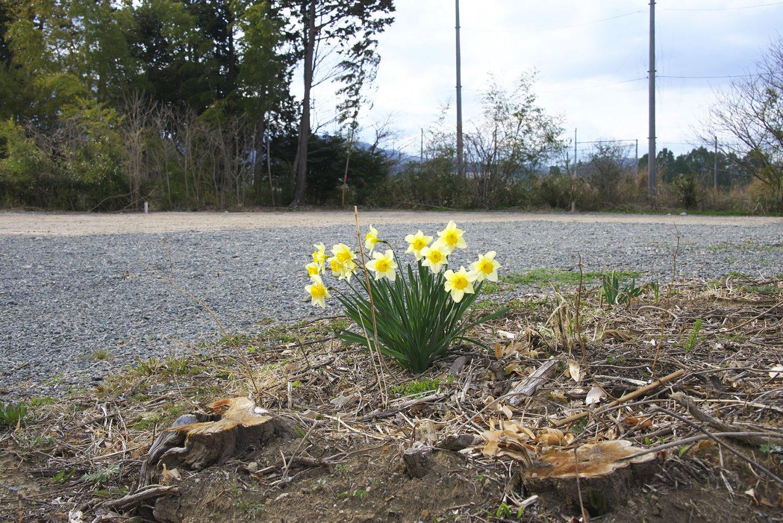 切り立ての垣根の切り株とスイセンの花。後は解体除染作業済みの屋敷跡か。