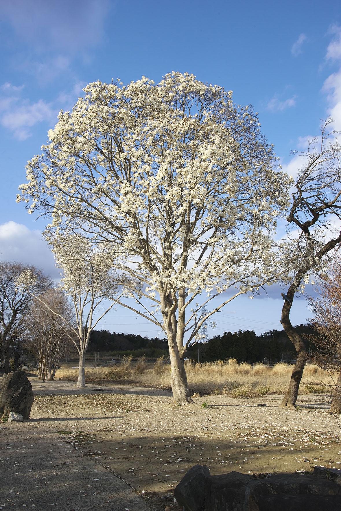 突然、輝くばかりに咲き誇るモクレンが現れた。夢のような景色だった。