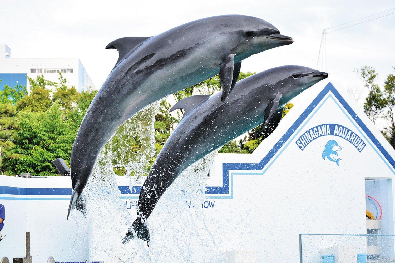 水族館の花形イルカショー。通常は1日3〜4回開催される。