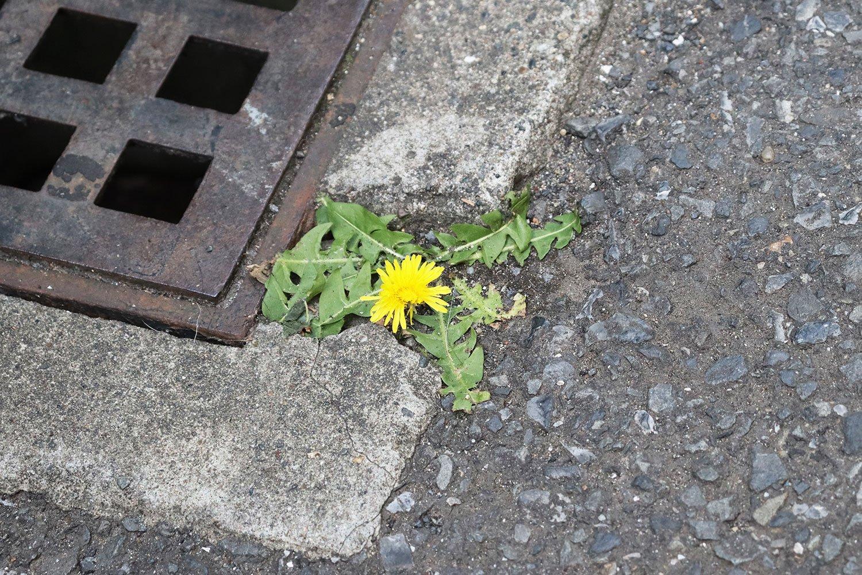 スキマでタンポポが開花!