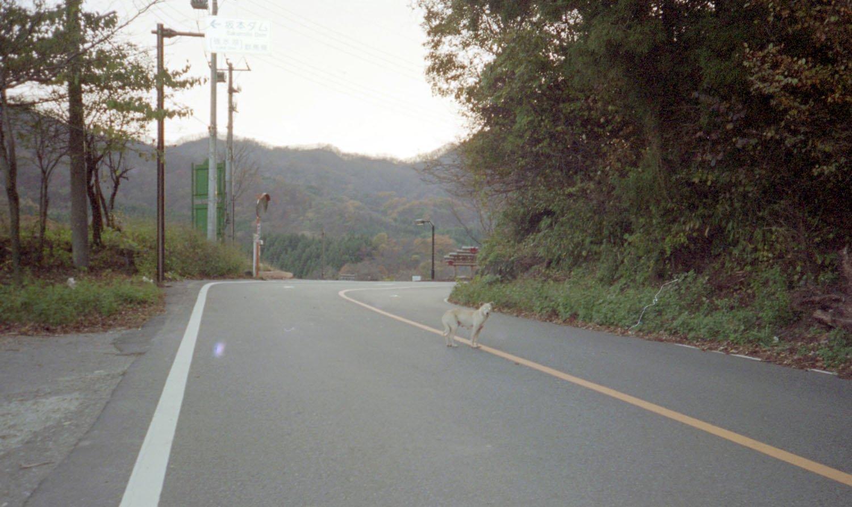 自転車で降っている途中に挨拶された(追いかけられた)野犬と思しき白犬。撮る余裕はあったようだ。