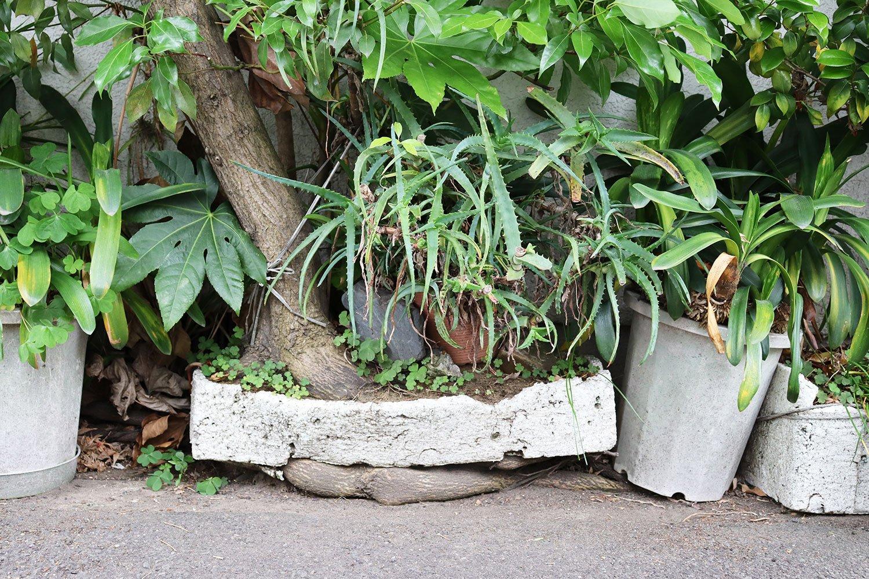 トロ箱に植えられた木。下からは根っこが貫通。