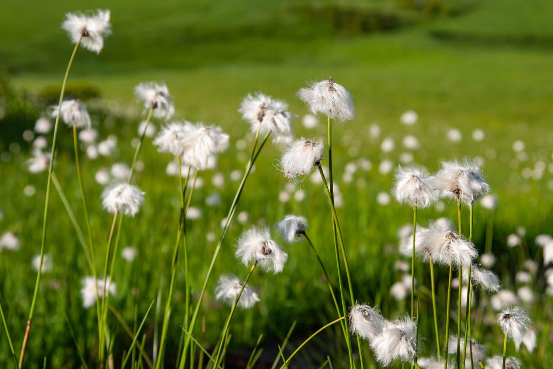 湿原を渡る風に穂を揺らすワタスゲ。
