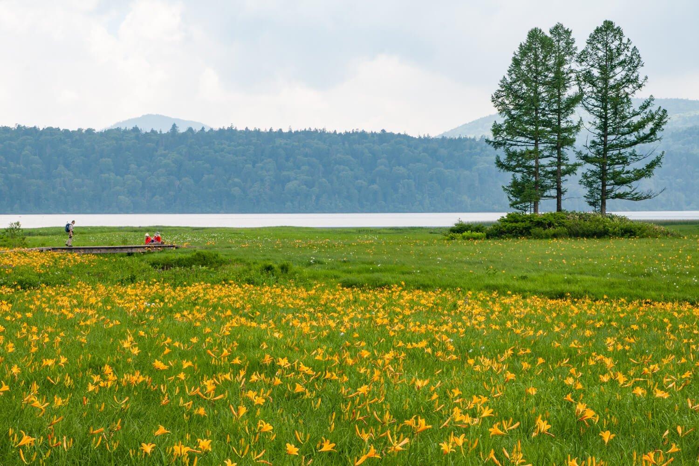 尾瀬沼畔の大江湿原を彩るニッコウキスゲの一大群落。この地を見守ってきたシンボル・三本カラマツも目を引く。