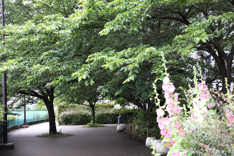毎年見に来る永代橋西詰めの桜。引っ越してきたころに植えられたそう。