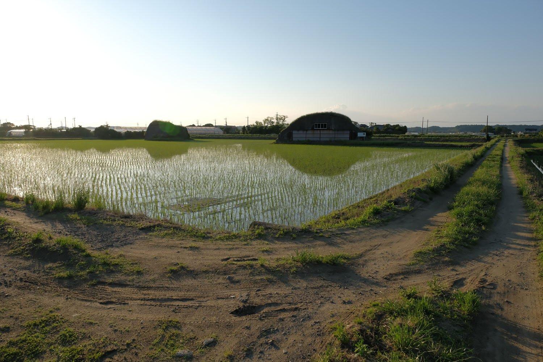 手前の畦道から掩体壕を望む。田んぼに水が張っているので浮島のように見える。