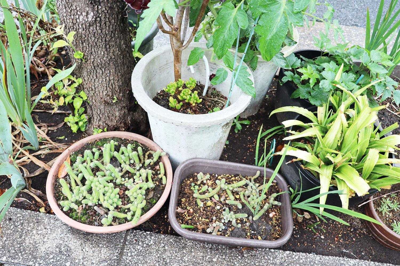 暗渠沿いの植え込みに置かれた鉢植えたち。