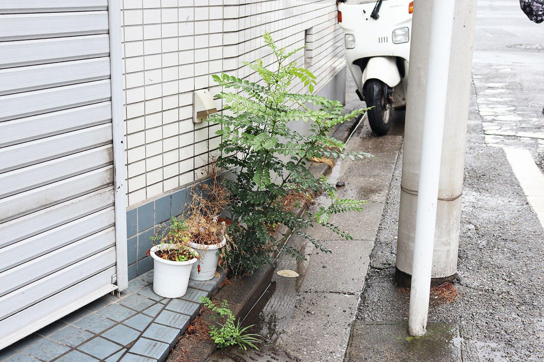シマトネリコの幼樹があちこちのスキマで芽生えていた。