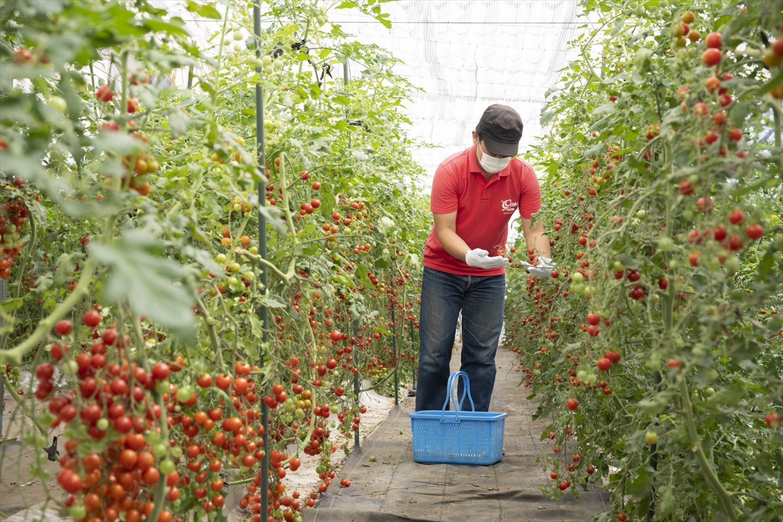 ミニトマト一筋の『おイシイ農園』。色も味も個性がバラバラな数十種類のミニトマトを、とことん愛しぬいて栽培している。