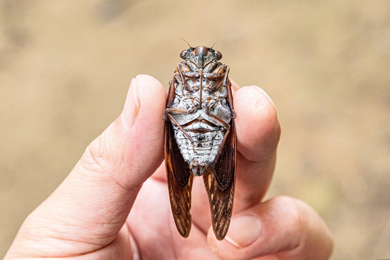 オスの胴体中央に発音器官がある。