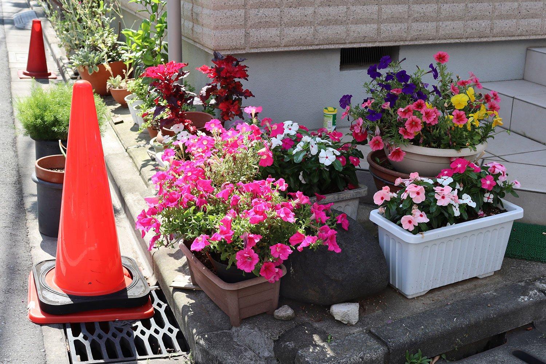 ペチュニアにニチニチソウ。カラフルでぷりてぃーな花たち。