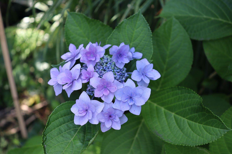 こちらは薄い紫。アジサイは多様な花色の品種を楽しめた。