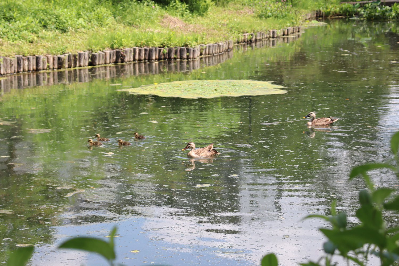 園内の池を泳ぐカルガモ親子。