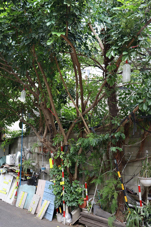 暴れるように広がる幹。お隣からはシュロもニュッと生えていた。