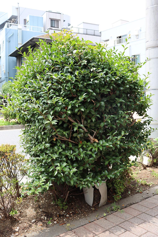 街路樹のふりをした鉢植えのツバキ。