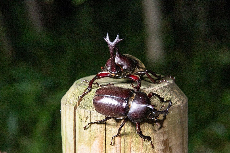 【大人の夏休み】カブトムシを狩る