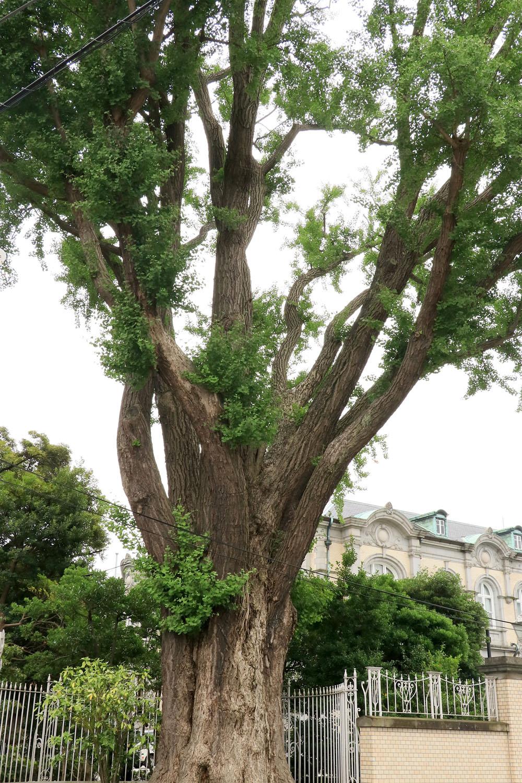 高さ10m近くはありそうな巨木。