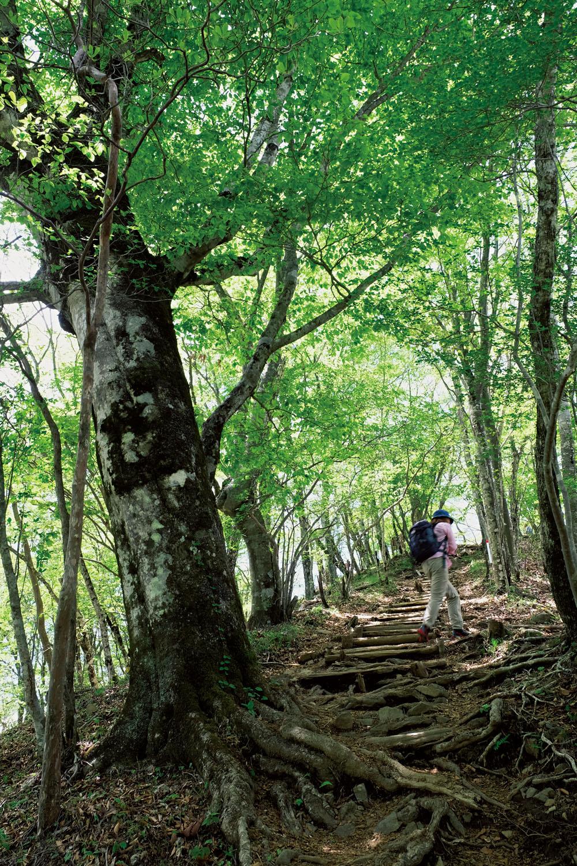 三頭山山頂手前の尾根道を上がる。周辺には見事なブナの原生林が広がっている。