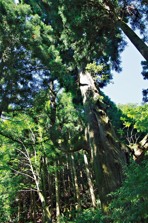奥の院へ行く分岐にある天狗の腰掛け杉。左に見える枝に天狗が腰かけたとか。樹齢350年の巨木。